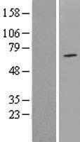 NBL1-13739 - NPAS1 Lysate