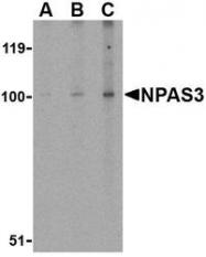 NBP1-76786 - NPAS3 / MOP6