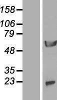 NBL1-13745 - NPEPL1 Lysate