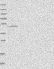 NBP1-83336 - Neuropeptide FF receptor 2