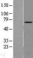 NBL1-13747 - NPLOC4 Lysate
