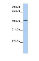 NBP1-59008 - NPY receptor 1 / NPY1R
