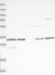 NBP1-80987 - NPY receptor 1 / NPY1R