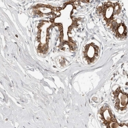 NBP1-82534 - NPY receptor 4 / NPY4R