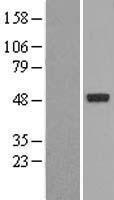 NBL1-13770 - NR1I2 Lysate
