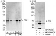 NBP1-71804 - NR2C1
