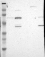 NBP1-81658 - NR2C2