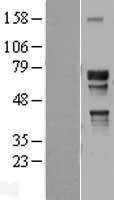 NBL1-13772 - NR2C2 Lysate
