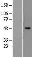NBL1-13774 - NR2E3 Lysate