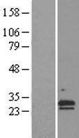 NBL1-09231 - NR6 Lysate