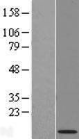 NBL1-13784 - NRARP Lysate