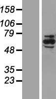 NBL1-13787 - NRBP1 Lysate
