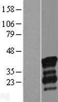 NBL1-13794 - NRIP3 Lysate