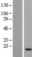 NBL1-13804 - NRSN1 Lysate