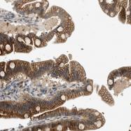 NBP1-88290 - Neurensin 2
