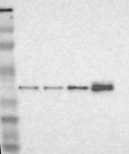 NBP1-83306 - NSDHL