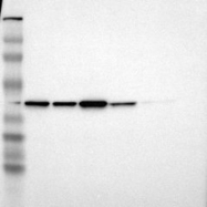 NBP1-83307 - NSDHL