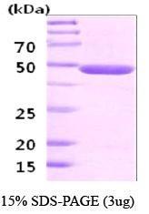 NBC1-18342 - Neuron specific enolase