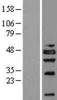 NBL1-13809 - NSFL1C Lysate