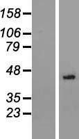NBL1-13815 - NSUN3 Lysate