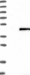 NBP1-82734 - NSUN4