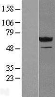 NBL1-13821 - NT5C2 Lysate