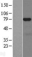NBL1-13843 - NUAK1 Lysate