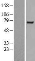 NBL1-13844 - NUAK2 Lysate