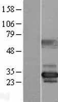 NBL1-13846 - NUBP2 Lysate