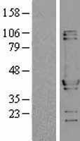 NBL1-13850 - NUDC Lysate
