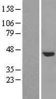 NBL1-13851 - NUDCD3 Lysate