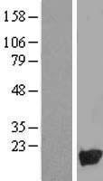 NBL1-13853 - NUDT10 Lysate