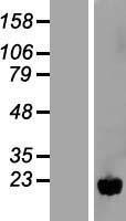 NBL1-13854 - NUDT11 Lysate