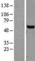 NBL1-13855 - NUDT12 Lysate