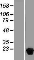 NBL1-13856 - NUDT15 Lysate