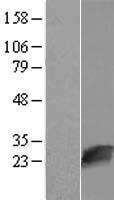 NBL1-13857 - NUDT16L1 Lysate