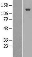 NBL1-13871 - NUP133 Lysate