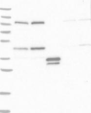 NBP1-88792 - NUP43