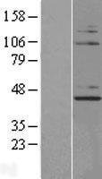 NBL1-13876 - NUP43 Lysate