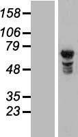 NBL1-13884 - NUPL1 Lysate