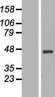 NBL1-13885 - NUPL2 Lysate