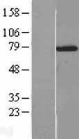 NBL1-13889 - NXF2 Lysate