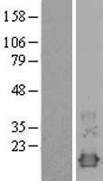 NBL1-13895 - NXT1 Lysate