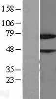 NBL1-13845 - NYREN18 Lysate