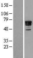NBL1-13453 - Nab2 Lysate