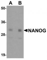 NBP1-77109 - NANOG