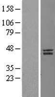 NBL1-13465 - Nanog Lysate