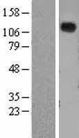 NBL1-13754 - Natriuretic Peptide Receptor A Lysate