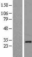 NBL1-13525 - Ndfip1 Lysate