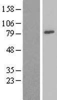 NBL1-13560 - Ndufs1 Lysate